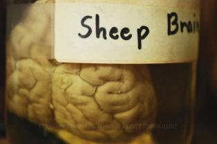 sheep-brain-rheann-earnest